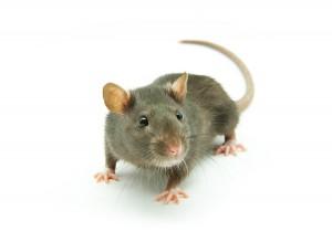 Rat_4790832